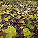 The Maple Floor by Adam Bykowski