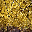 Maple Wall by Adam Bykowski