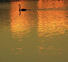 Swan on the Derwent by phillip wise