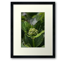 Green Buds Of Hydrangea Framed Print