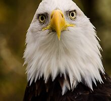 Portrait of a Bald Eagle by Jordan Blackstone