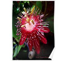 Lady Margaret Passiflora Poster