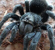 brazillian black tarantula by stompromper