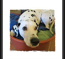 Dalmatian 1 by caitlin2005