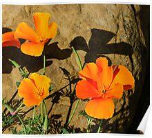 California Poppies - Crisp Shadows In the Desert Sun  Poster