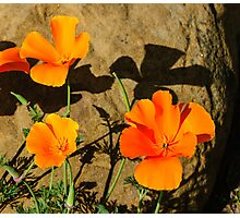California Poppies - Crisp Shadows In the Desert Sun  Photographic Print