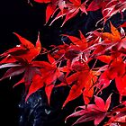 Japanese maple tree  (Acer palmatum) on black by 7horses