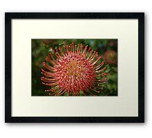Leucospermum red ribbon Framed Print