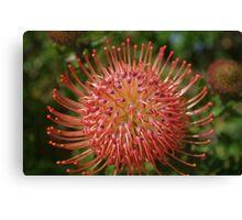 Leucospermum red ribbon Canvas Print