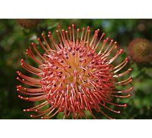 Leucospermum red ribbon Photographic Print