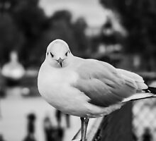 Perched seagull facing the camera in Jardin des Tuileries, Paris by Olivier Sohn
