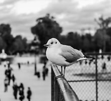 Perched seagull in Jardin des Tuileries, Paris, France by Olivier Sohn