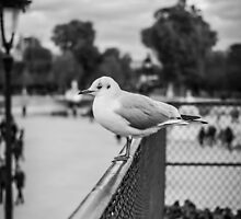 Perched seagull looking straight ahead in Jardin des Tuileries, Paris by Olivier Sohn