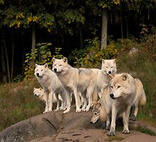 Arctic Wolf Pack - Montebello, Quebec by Josef Pittner