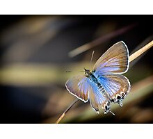 Cycad Blue Butterfly Photographic Print