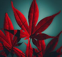 Japanese Maple in Crimson by va103