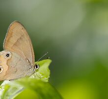 Vantage point - Brown Ringlet Butterfly by NaturalCultural