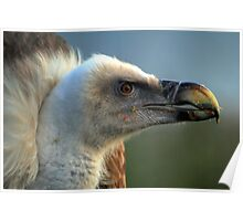Griffon Vulture  Poster
