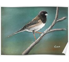 Northern Junco Poster