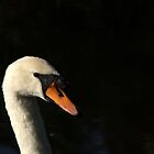 Mute Swan  by Chris Day