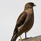 Chimango Caracara by Dennis Cheeseman