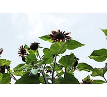 Red Sunflowers From Below Photographic Print