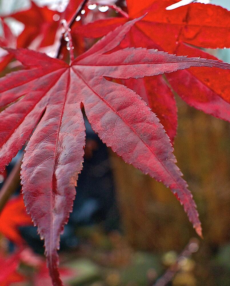 Japanese Maple Leaf by Cee Neuner