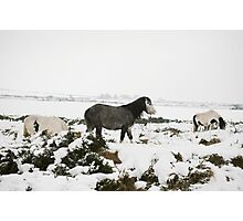 Snow Ponies Photographic Print