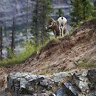 Big Horn Sheep - Jasper Canada by mattnnat