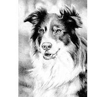 Australian Shepherd Dog Photographic Print