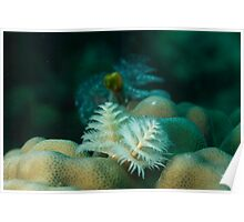 Christmas Tree worm White Poster