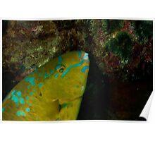 Yellow Parrotfish Poster