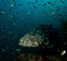 Giant Grouper by Kenji Ashman