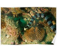 Banded Sea Snake Poster