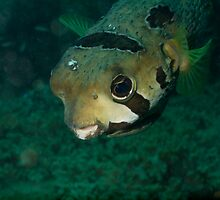 Portrait Black-blotched Porcupinefish by Kenji Ashman
