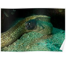 White eyed moray Mouth opened Poster