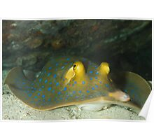 Portrait Blue spotted ribbontail ray Poster