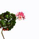Geranium #2 by Heather Prince