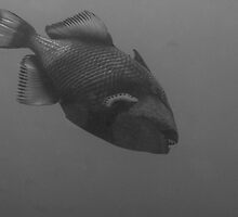 Black and White of Titan Triggerfish by Kenji Ashman