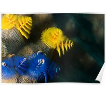 Christmas Tree worm Blue/yellow Poster