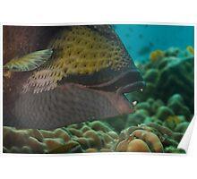Close-up Titan Triggerfish Poster