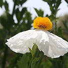 Matalija Poppy In The Sunlight by heatherfriedman