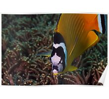 Close-up Raccoon Butterflyfish Poster