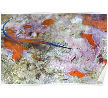 Janss' Pipefish over coral Poster