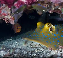Bluespotted ribbontail ray w/Durban Dancing Shrimp by Kenji Ashman