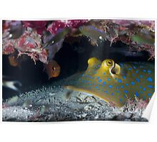 Bluespotted ribbontail ray w/Durban Dancing Shrimp Poster
