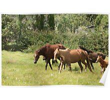 Herd of Horses in Cotacachi Poster