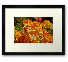 Rhodoendron Explosion Framed Print