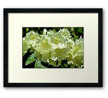 Cream Rhodoendron Dream Framed Print