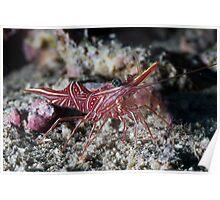 Portrait Durban Dancing Shrimp on sand Poster